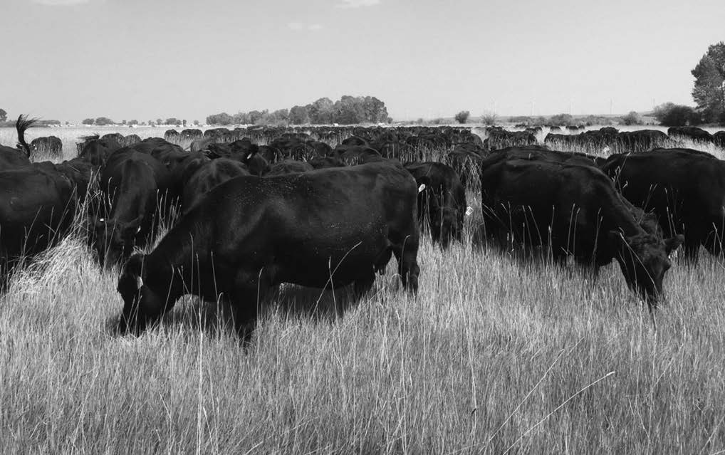 Sims Cattle Company has found their cattle are more content when grazed at higher stock densities and moved frequently. These cattle are at stock density of 60,000 pounds per acre.